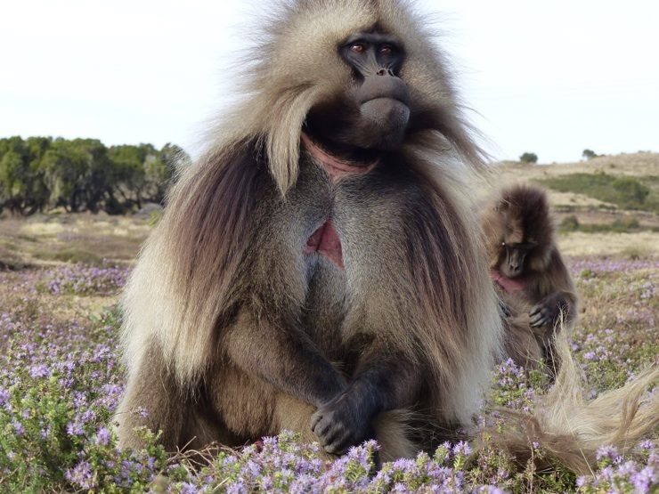 Gelada monkey - Ethiopia safari adventure - Africa Travel Blog