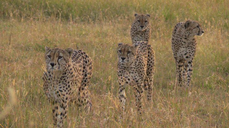 Coalition of cheetah