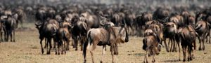 Wildebeest Rescue