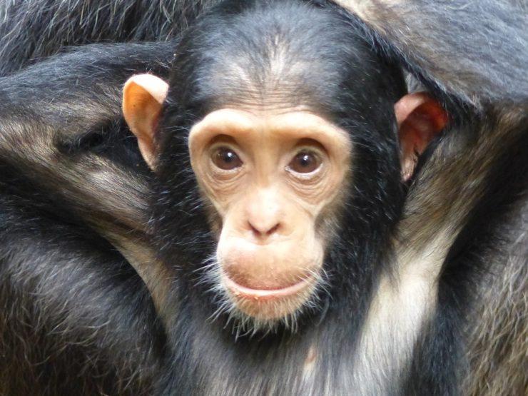 Trekking Mahale chimps, Mahale Mountains, Africa safari