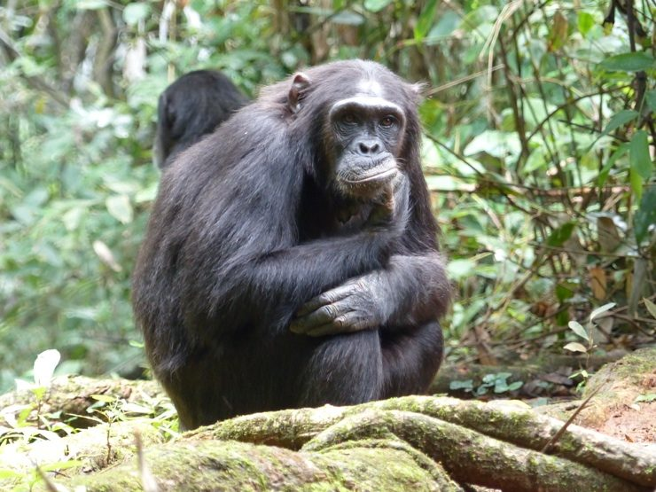 Mahale chimp trekking, African safari in Tanzania