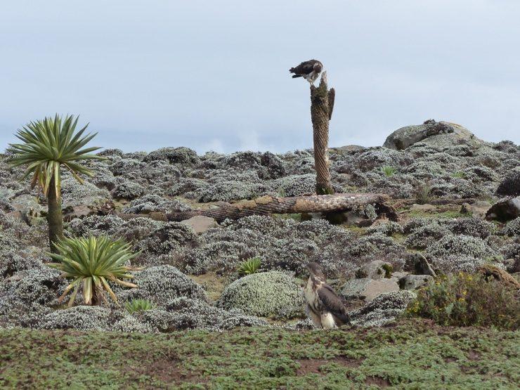 Ethiopia Augur Buzzards, Sanetti Plateau, Bale Mountains - Africa safari adventure