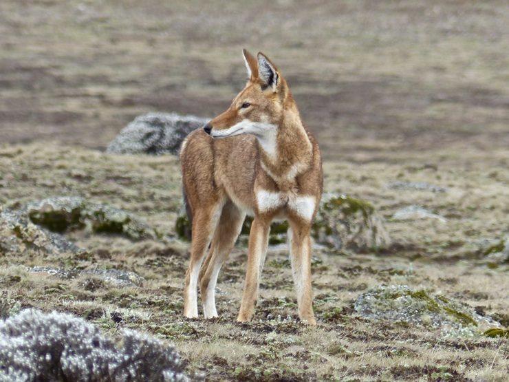 Ethiopian wolf, Sanetti Plateau-Bale Mountains, Africa Safari