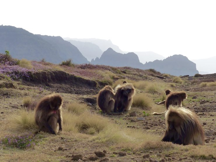 Gelada monkeys Ethiopia