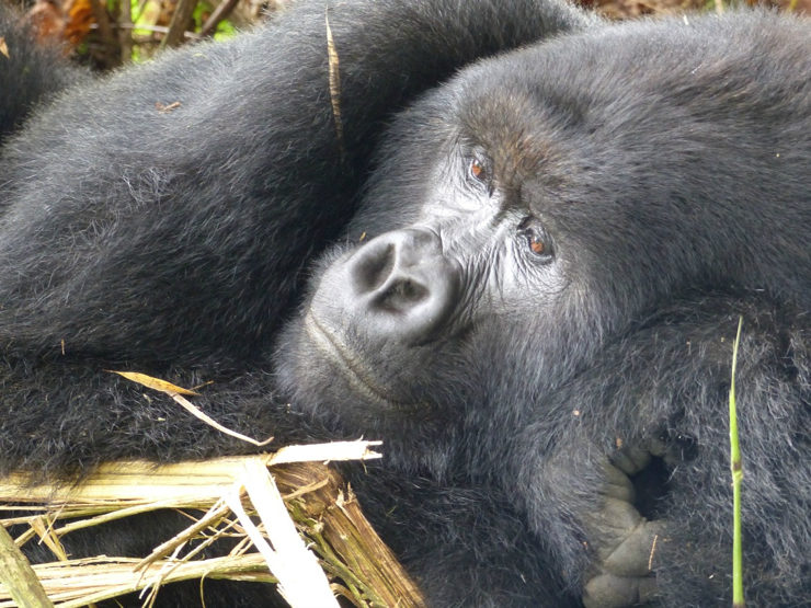 Gorillas of the Congo DRC