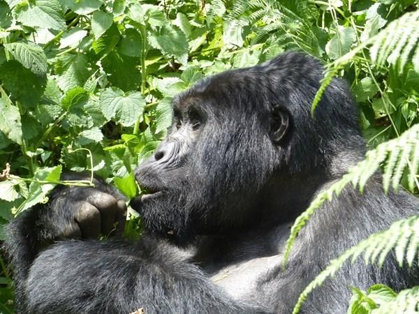 Gorilla trekking in Rwanda - Epic 2017 Update