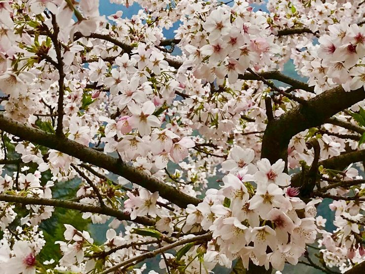 Cherry blossoms - Epic Everest Update 2