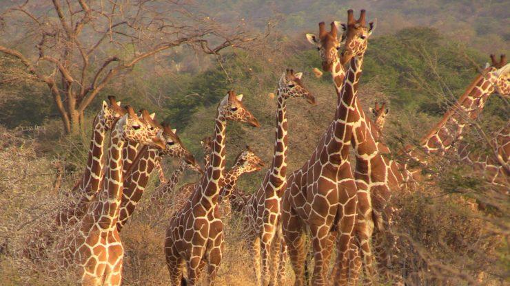 giraffes of Kenya