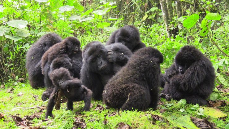 Gorilla family Rwanda Primates, predators and prey EpicAfrica2018
