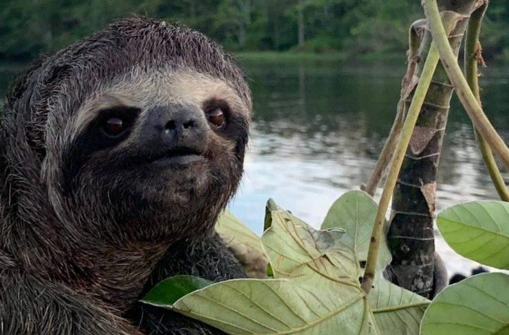 sloth of the amazon