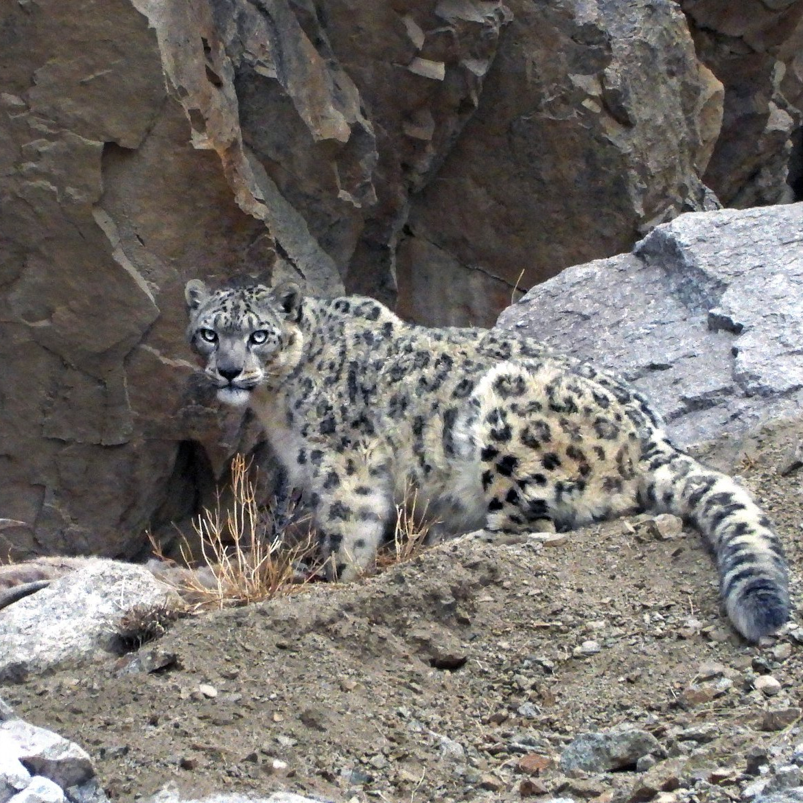 11 Nights Trekking for Snow Leopards
