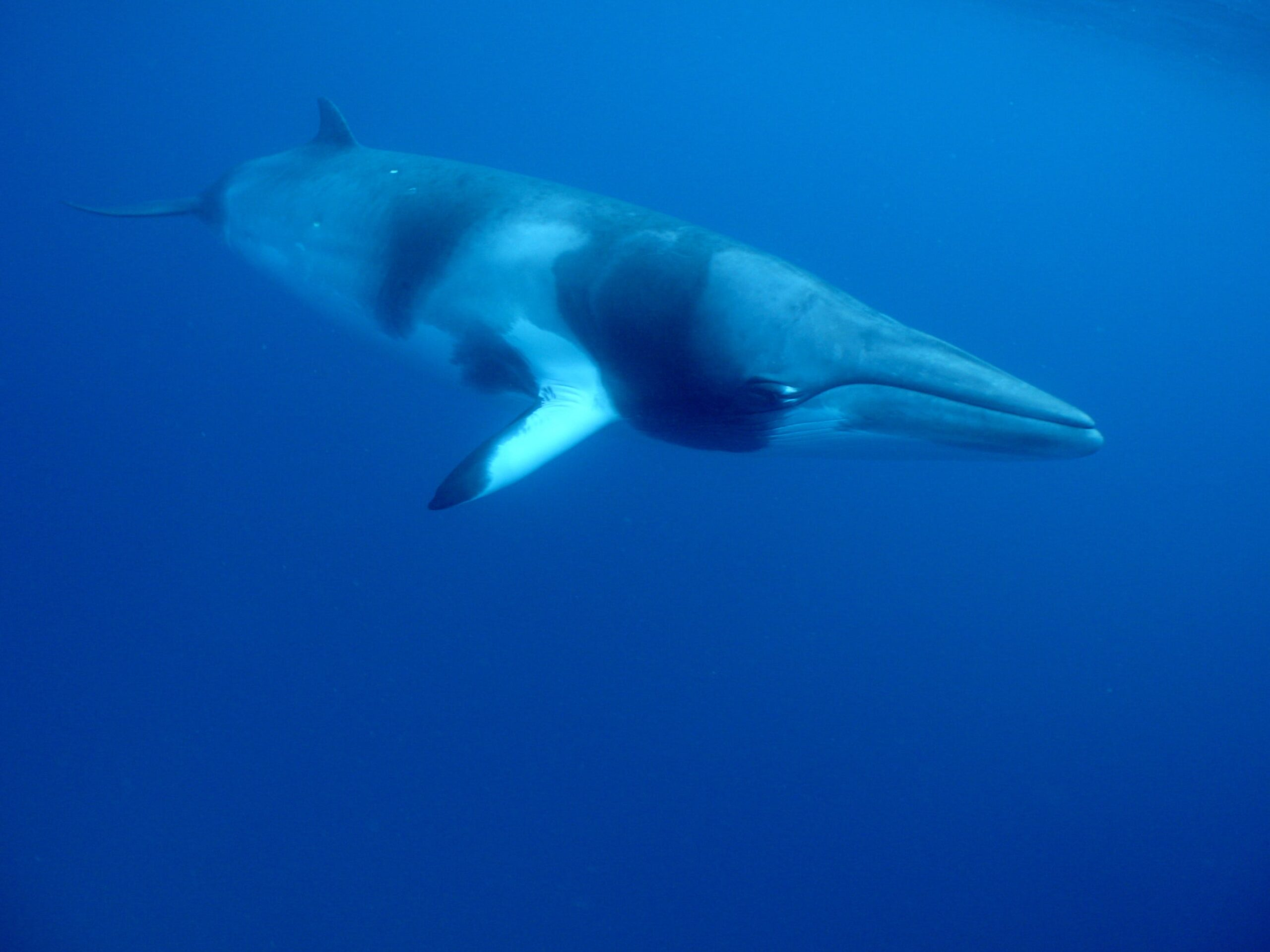 6 Nights Diving with Minke Whales